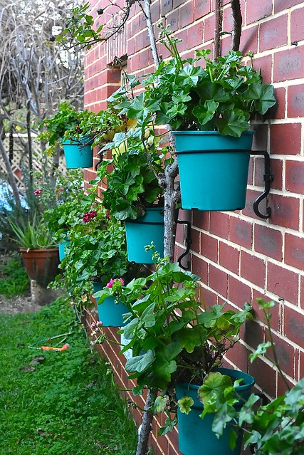Our wall garden features ivy-geraniums