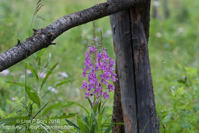 2016.07.21RMNPflowers15