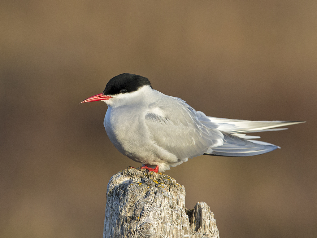 Artic Tern     Iceland