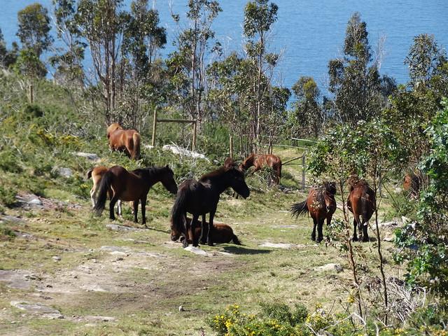 Caballos en el monte Enxa en Porto do Son