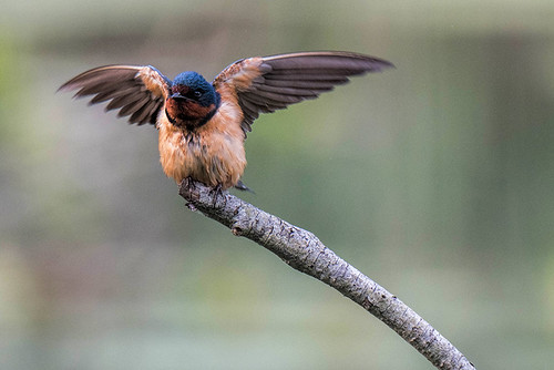 JBWR: Barn Swallow Doing Daily Wing Exercises