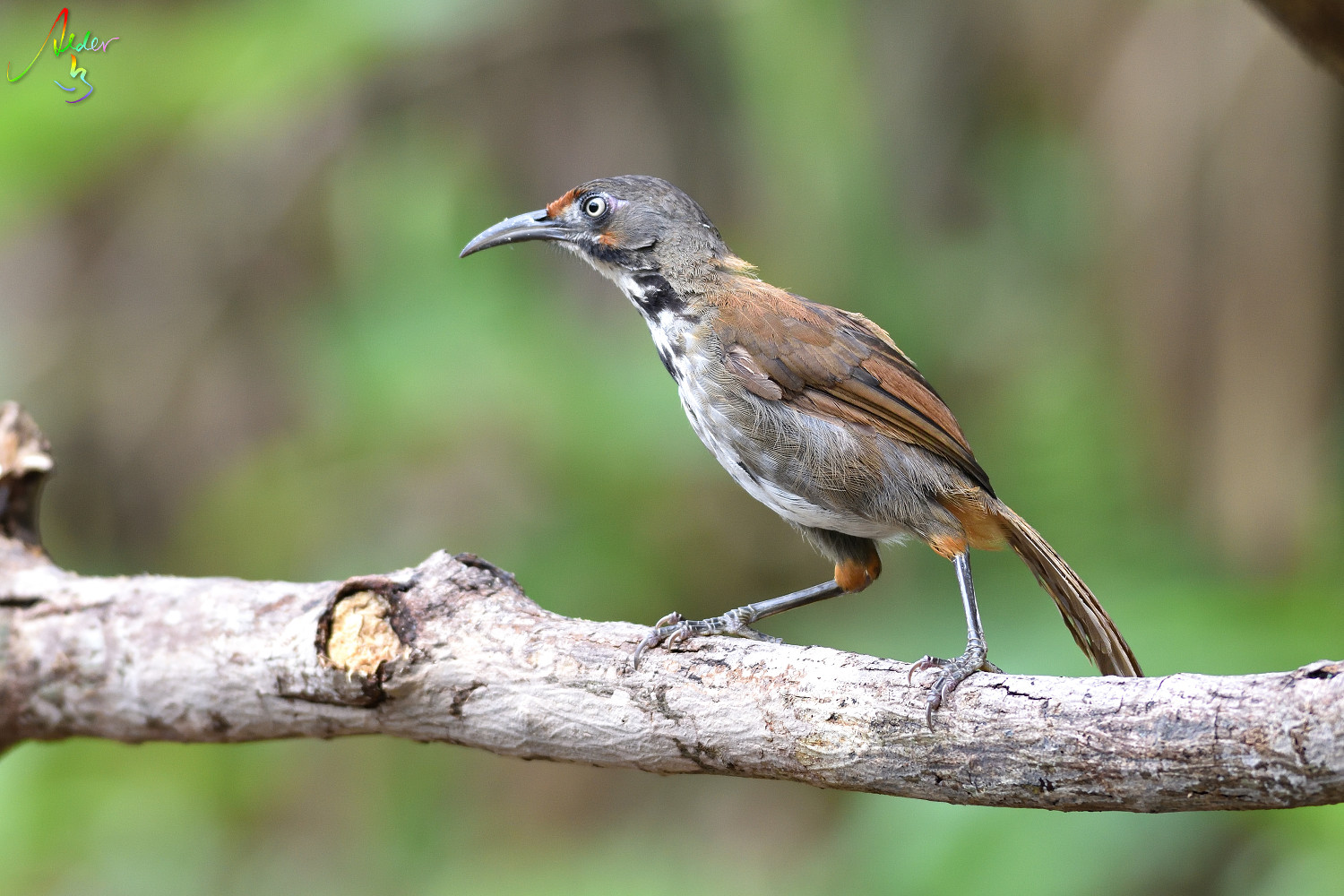 Rusty-cheeked_Scimitar_Babbler_5340