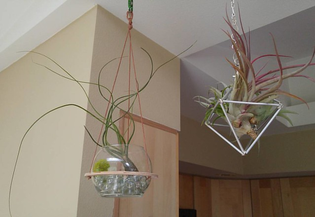 Added some larger ones into the mix. #airplant #airplants