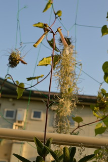 DSC_3734 Sinningia tubiflora シンニンギア 上海の女王 Hardy White Gloxinia