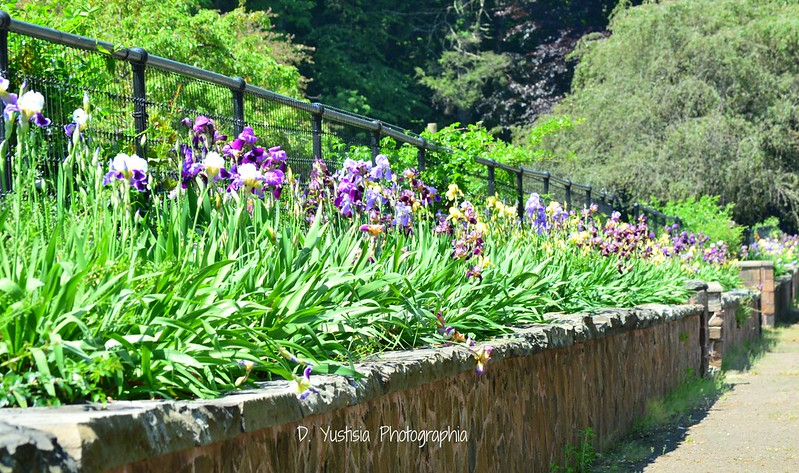 Irises of Pardee Rose Garden