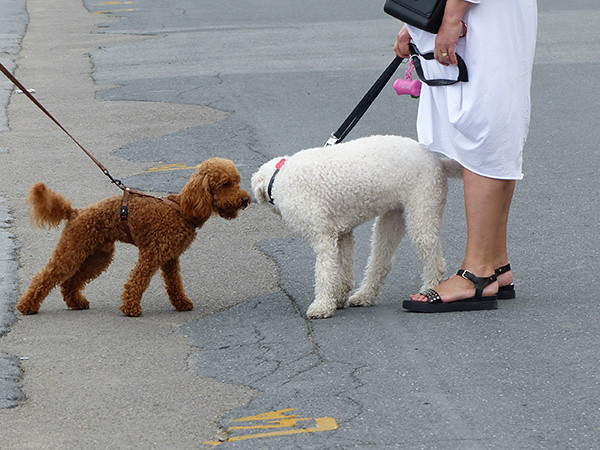 chiens italiens