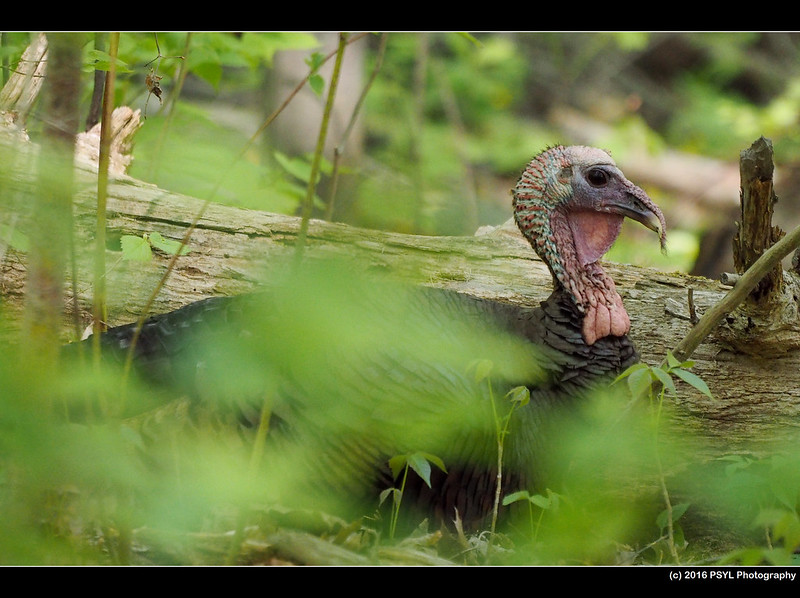 Wild Turkey (Meleagris gallopavo) male
