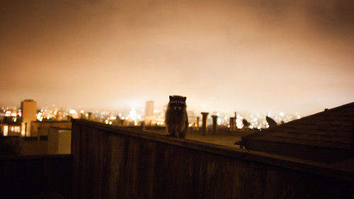 San Francisco raccoon | by Matt Biddulph