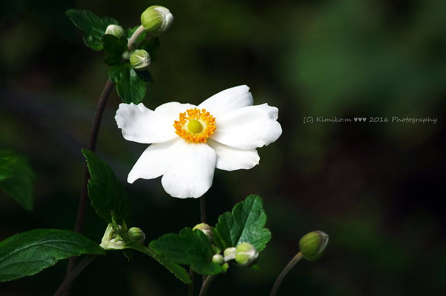秋明菊#うちの庭