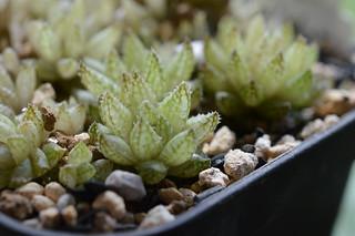 DSC_3599 Haworthia reticulata to herbacea Bosfontein