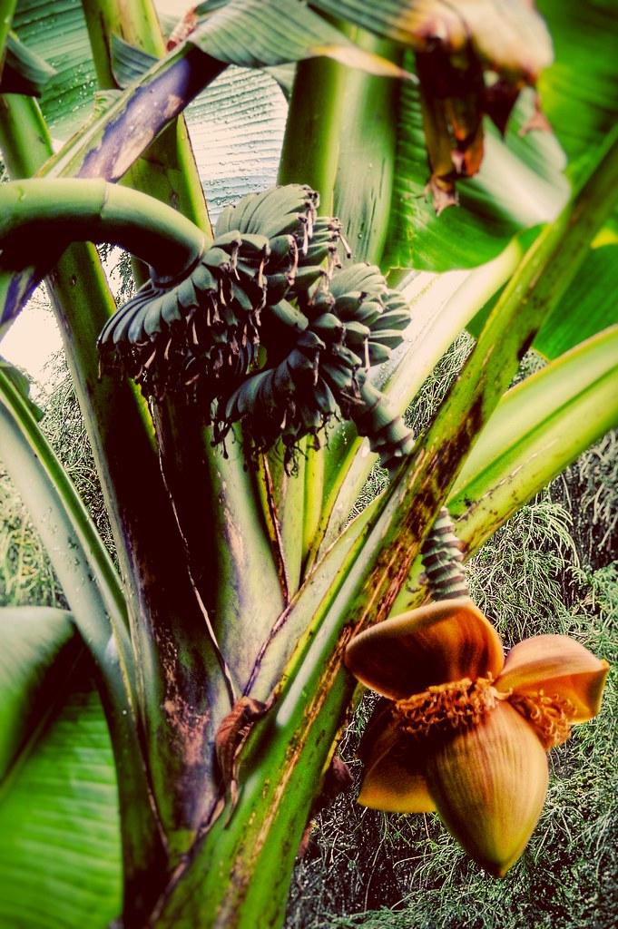 BC Bananas