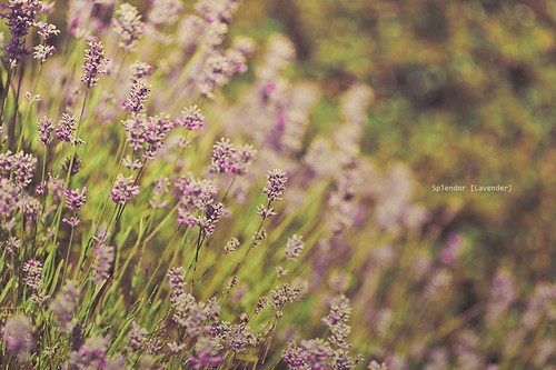 Splendor [Lavender] | by Mahoney Photography WA