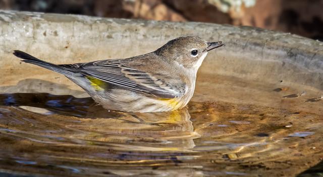 Yellow-rumped-Warbler-13a-7D2-092516