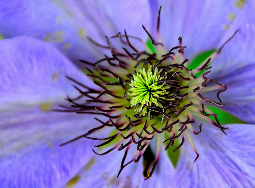 Clematis. By R J Watson | by Ray~Watson
