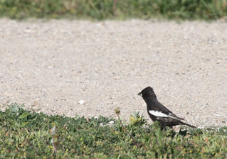 Lark Bunting | by Birdfreak.com
