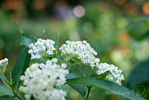 butterfly weed-ants | by Kelly Luna