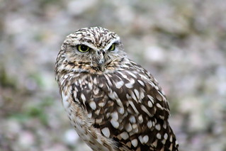 Burrowing Owl | by S C photos