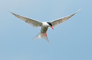 Rising Above!!    (Common Tern) | by marsch1962