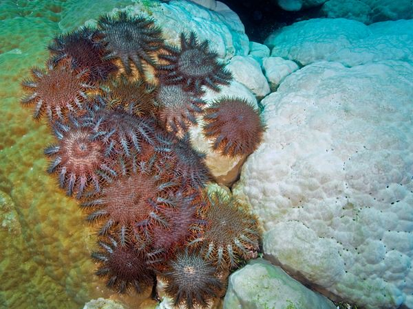 starfish05-crown-of-thorns-starfish_18224_600x450