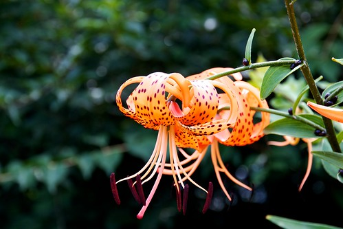 Tiger Lilly in the Alumni Garden | by Michael Bentley