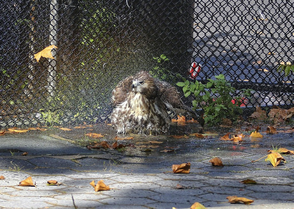 Hawk bathing in a rainbow
