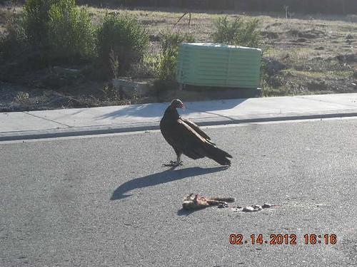 1turkey vulture judy edlund concord | by Contra Costa Times
