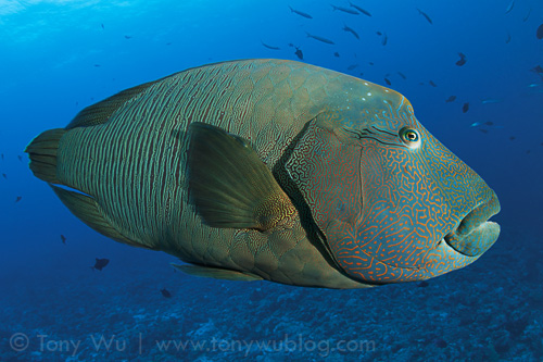 Napoleon wrasse at Blue Corner, Palau | by Tony Wu Underwater Photography