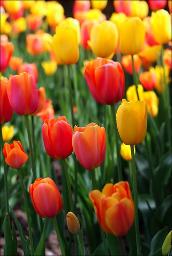 Casa Loma Tulips | by Black_Tux
