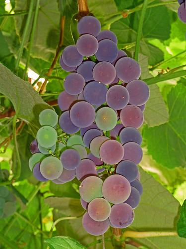 Ripening | by junglejims photos