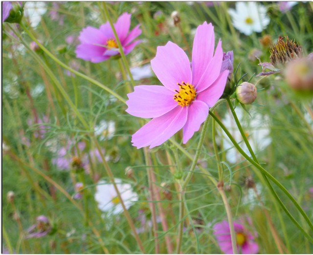 SePtEmBeR  ImPrEssIoN.. Cosmea....Feliz Quinta Flower !