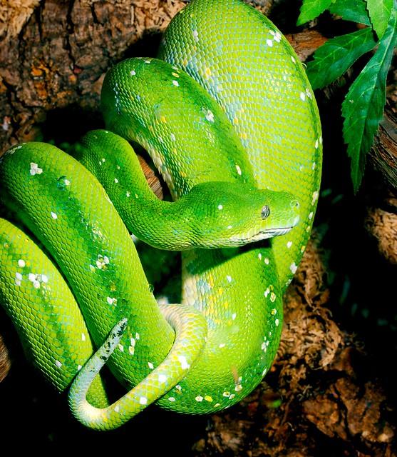 Green Tree Python_1