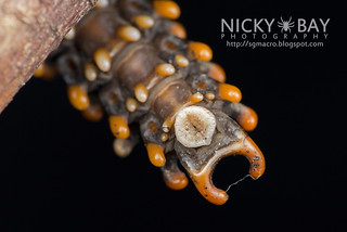 Trilobite beetle larva (Platerodrilus sp.) - DSC_2014