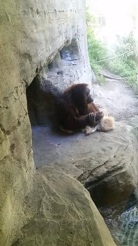 Woodland Park Zoo Gorilla Eating