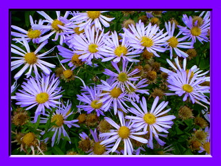 Asters | by Mary (No Group Invites Please)
