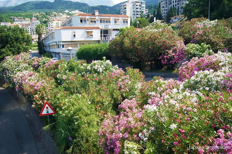 Пейзаж с цветущими олеандрами