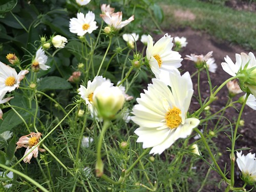 Garden Bloggers Bloom Day, August 2016