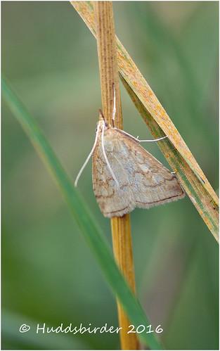 Moth.....Udea lutealis?
