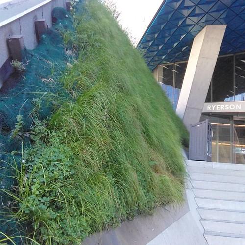 Grass wall #toronto #ryersonuniversity #yongestreet #grass #wall