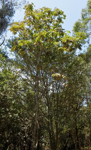 Diploglottis cunninghamii - Native Tamarind