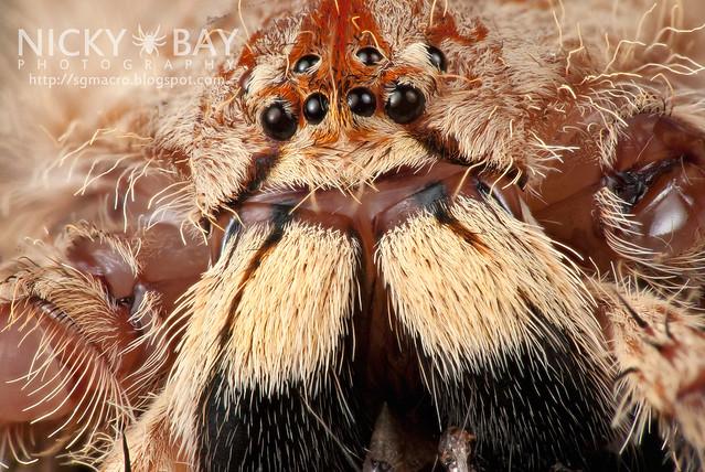 Huntsman Spider (Heteropoda sp.) - DSC_0612