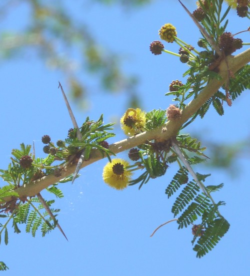 Acacia xanthophloea 28595483762_75517c74bc_o