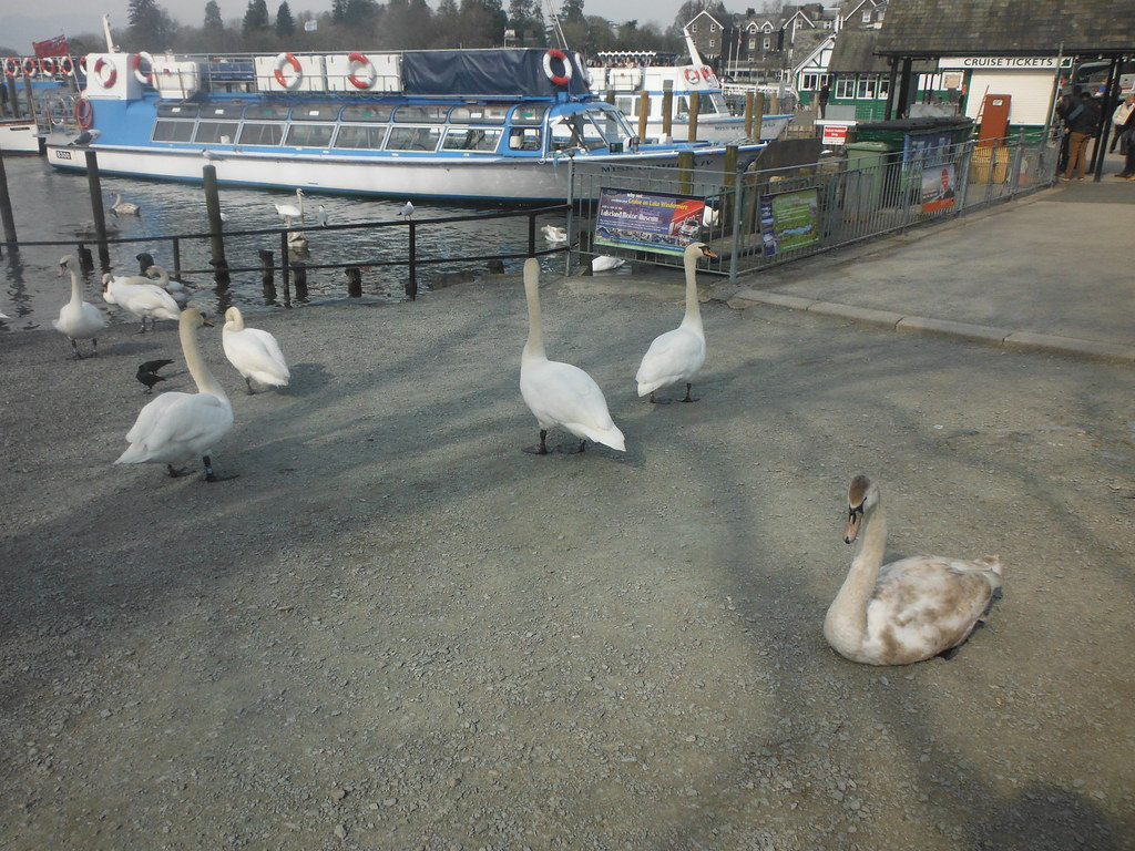 Bowness Swans 2