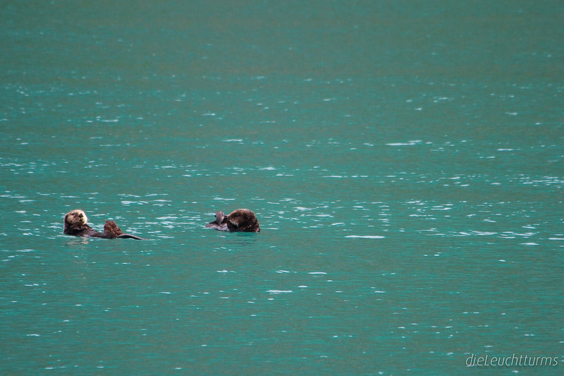 Sea otters in Northwestern Lagoon
