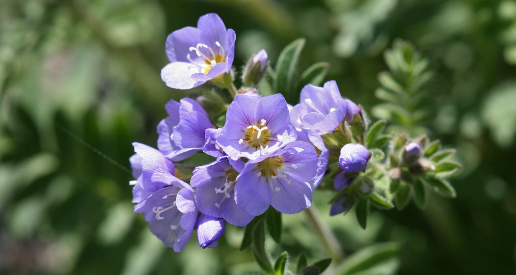 Showy Jacob's Ladder (Polemonium pulcherrimum)