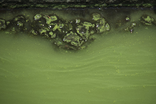 Green algal bloom in Kranji Reservoir, 10 Aug 2016