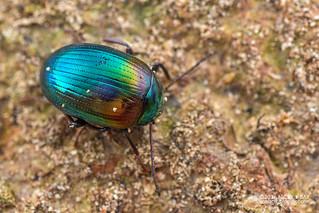 Darkling beetle (Amarygmus sp.) - DSC_9814
