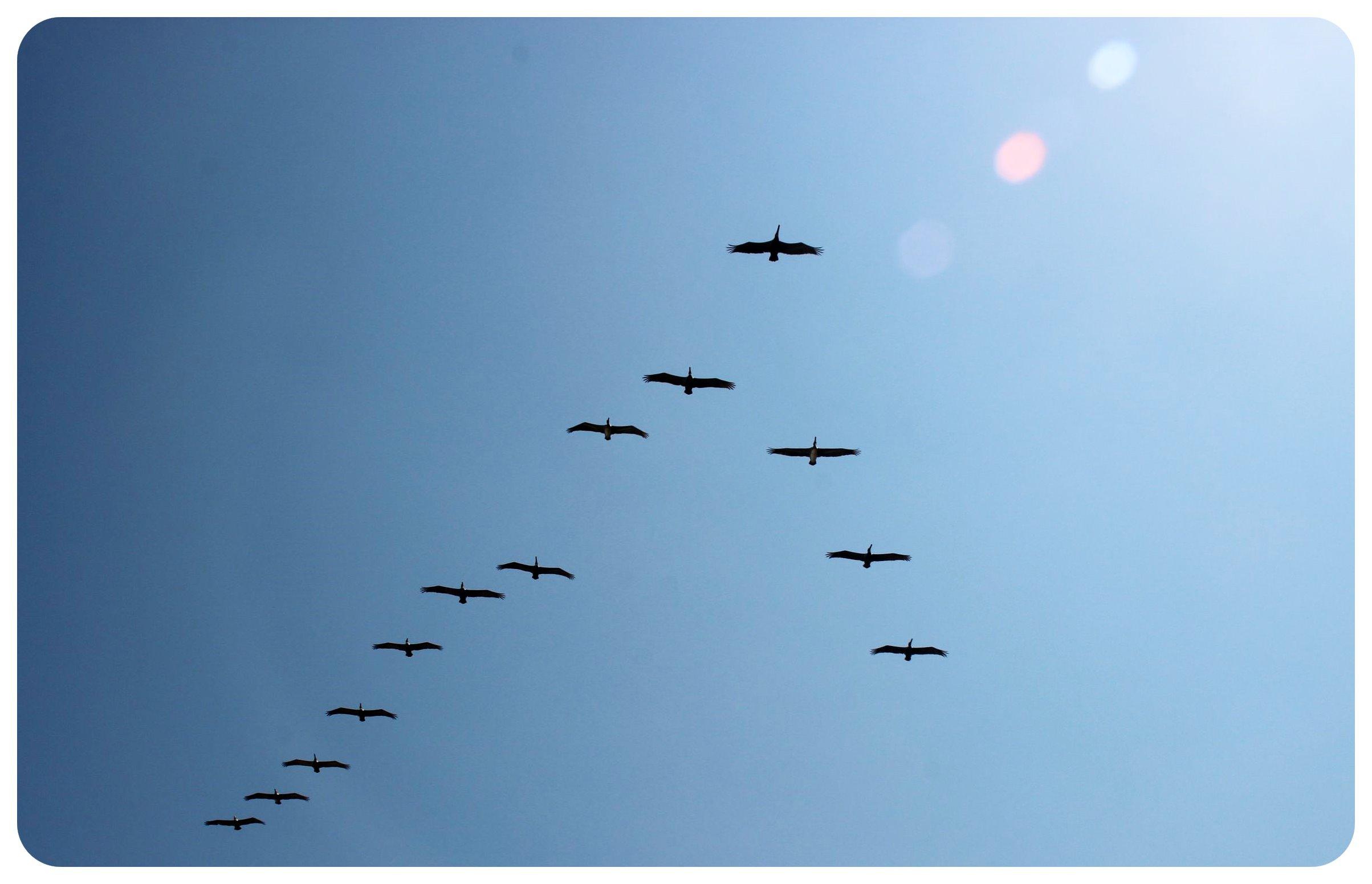 palomino pelicans