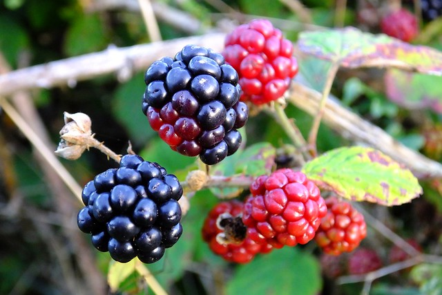autumn berries 01