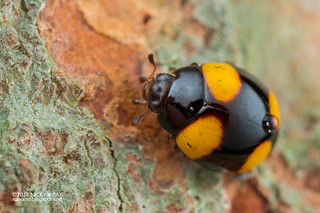 Ladybird (Coccinellidae) - DSC_1134