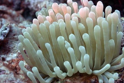 Bonaire 2016 269 anemone